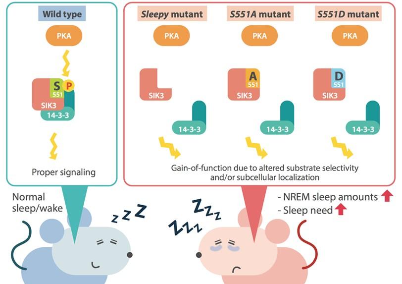 university of tsukuba never enough sleep mouse mutation shown to